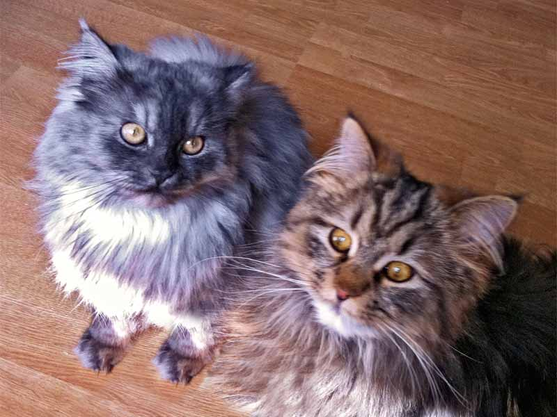 MainCoon-Kater Kasimir (l.) und Evoli  /  ©  Privat